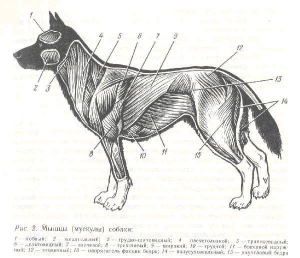 продавцов список всех книг об анатомии собаки форма головы